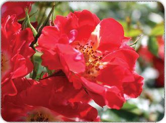 Gül çiçeğinde erkek ve dişi organ
