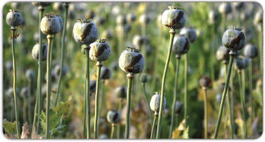 Haşhaş tohumları