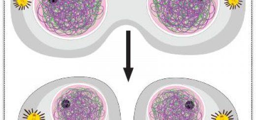 Hayvan hücresinde sitokinez