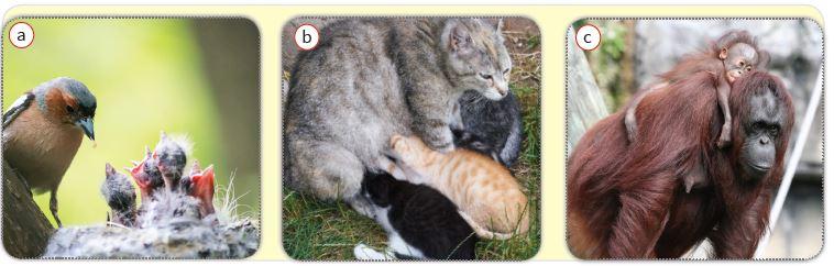 Kuş (a), kedi (b) ve orangutanda (c) yavru bakımı
