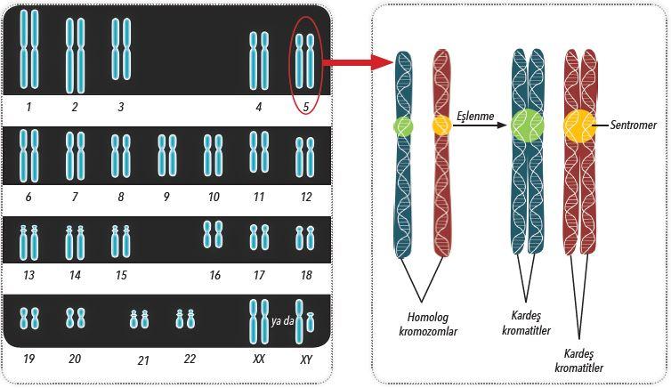 Homolog kromozomlar ve kardeş kromatitler
