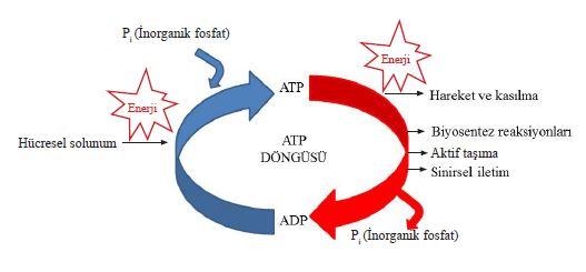 Hücredeki enerji dönüşümü ve ATP'nin kullanıldığı olaylar