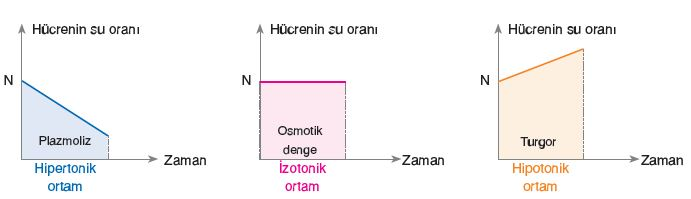 Osmotik basınç ile turgor basıncı arasındaki fark, emme kuvvetini oluşturur.