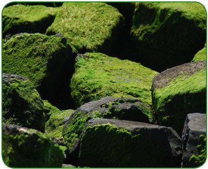 Kara yosunları