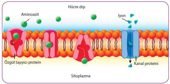 Aminoasitin özgül taşıyıcı proteinden, iyonun kanal proteininden kolaylaştırılmış difüzyonu