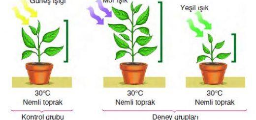Fotosentez hızına ışık renginin etkisini gösteren kontrollü deney düzeneği
