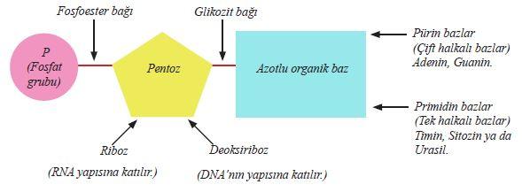 Nükleotidin genel yapısı