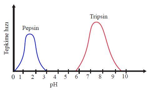 İnsanda pepsin ve tripsin enzimlerinin optimum pH değeri