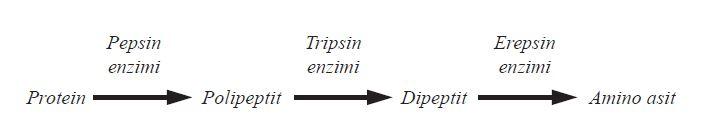 Proteinlerin sindiriminde takım olarak çalışan enzimler