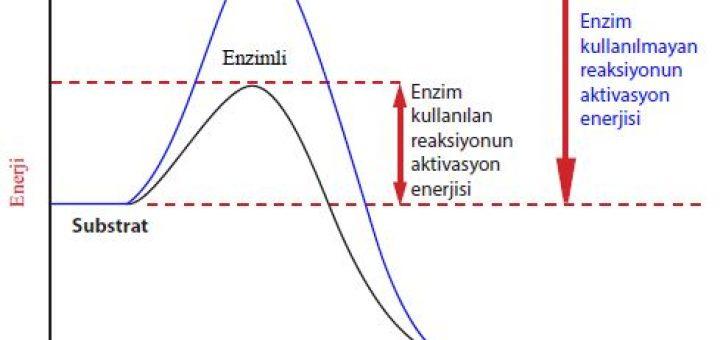 Reaksiyonun enzimli ve enzimsiz gerçekleşme grafiği