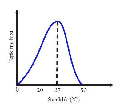Tipik bir insan enzimi için optimum sıcaklık