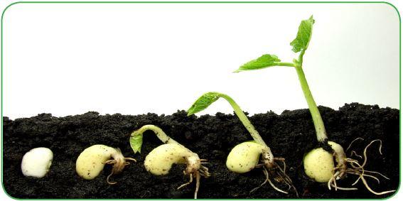 Tohumdan bitki gelişimi