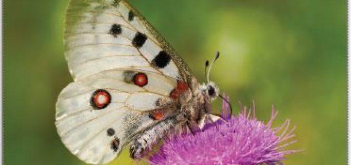 Apollo kelebeği