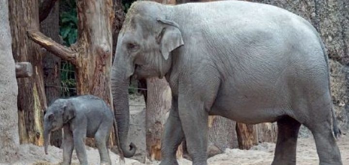 Asya fili