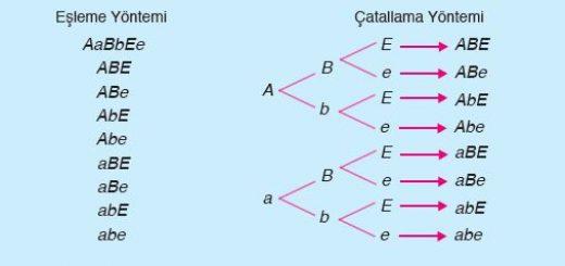 Bağımsız heterozigot üç karakterin gametleri