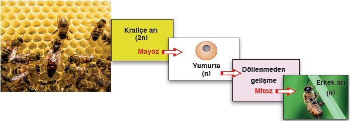 Bal arısında partenogenez