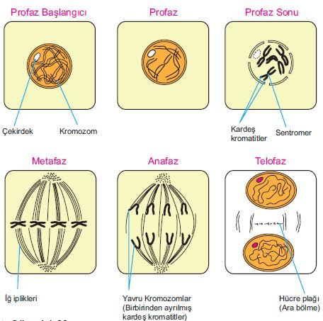 Bitki hücresinde mitoz bölünme