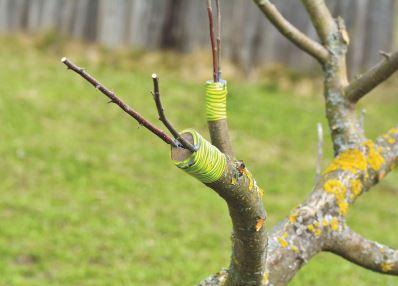 Elma ağacında aşılama yöntemi