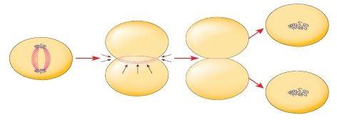 Hayvan hücrelerinde sitoplazma bölünmesi
