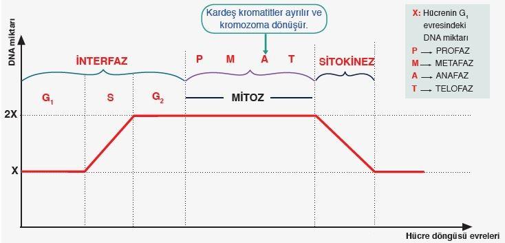 Hücre döngüsünde DNA miktarı değişimi