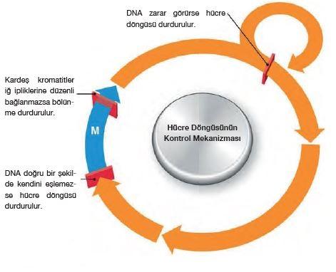 Hücre döngüsünün kontrolü