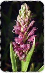 Kastamonu orkidesi