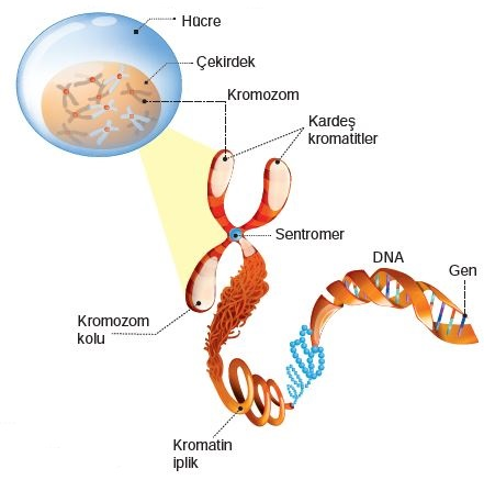 Kromozom ve DNA
