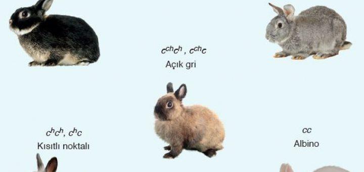 Tavşanlarda çok alellilik