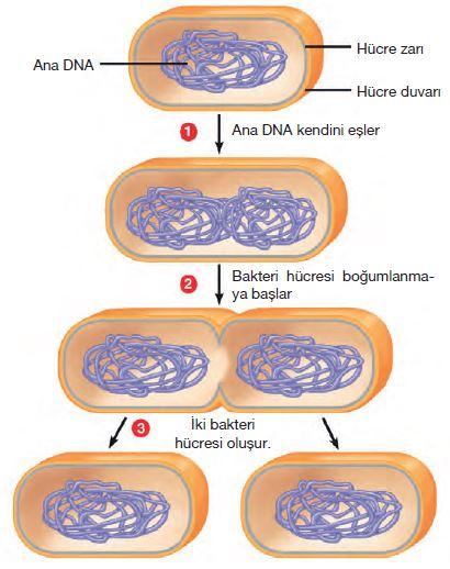 Bakterilerde ikiye bölünme
