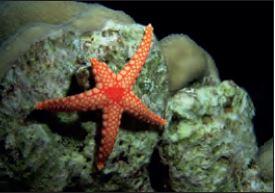 Denizyıldızında rejenerasyonla üreme