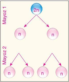 Mayoz bölünme ile kromozom sayısının yarıya inmesi