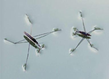 Yüzey gerilimi sayesinde böcekler su yüzeyinde durabilir