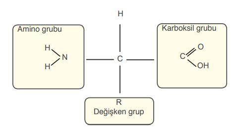 Aminoasitin yapısı.